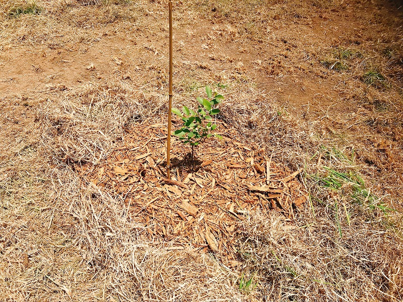 ブルーベリー苗木の画像