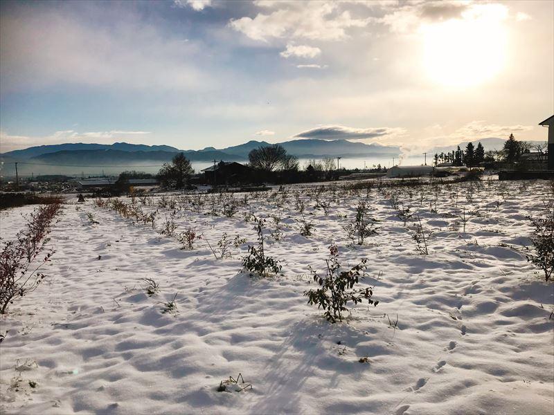 雪の中のブルーベリー農園の画像