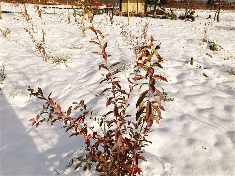 雪の中のブルーベリーの画像